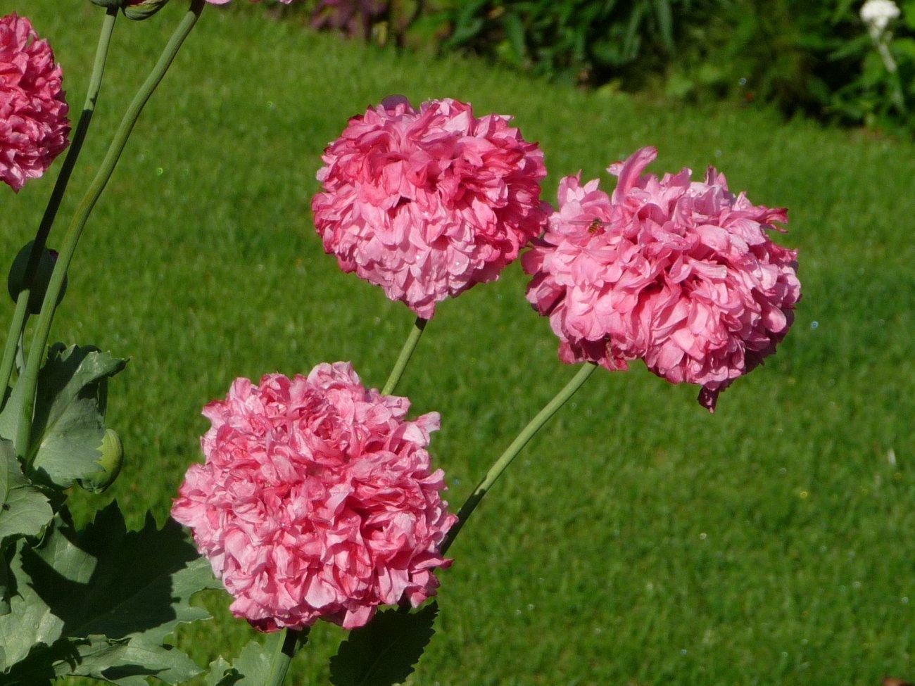 Our garden July 08 012.JPG